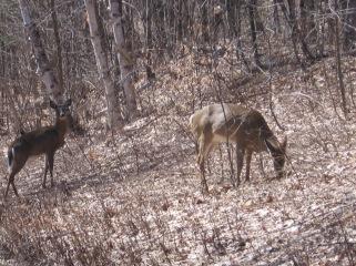 (GH)Deer